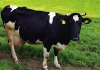 dairy-cow2