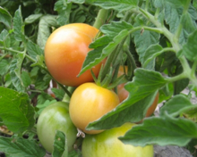 Dry-farmed tomatoes