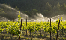 irrigating grapes