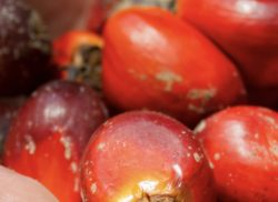 Lack of Consumer Demand and Cost Keep Companies from Sustainable Palm Oil Plans